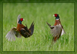 Ring neck pheasants